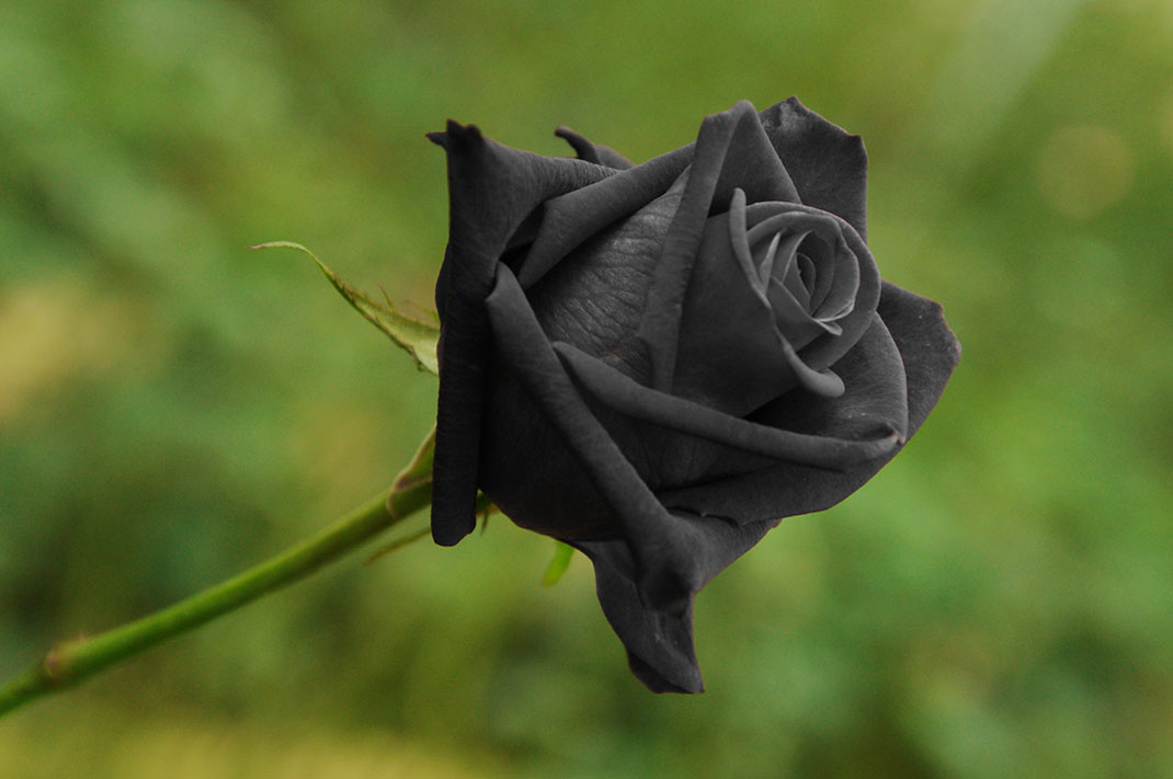 Une rose noire de Halfeti via shutterstock