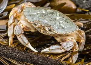 crabe-dormeur