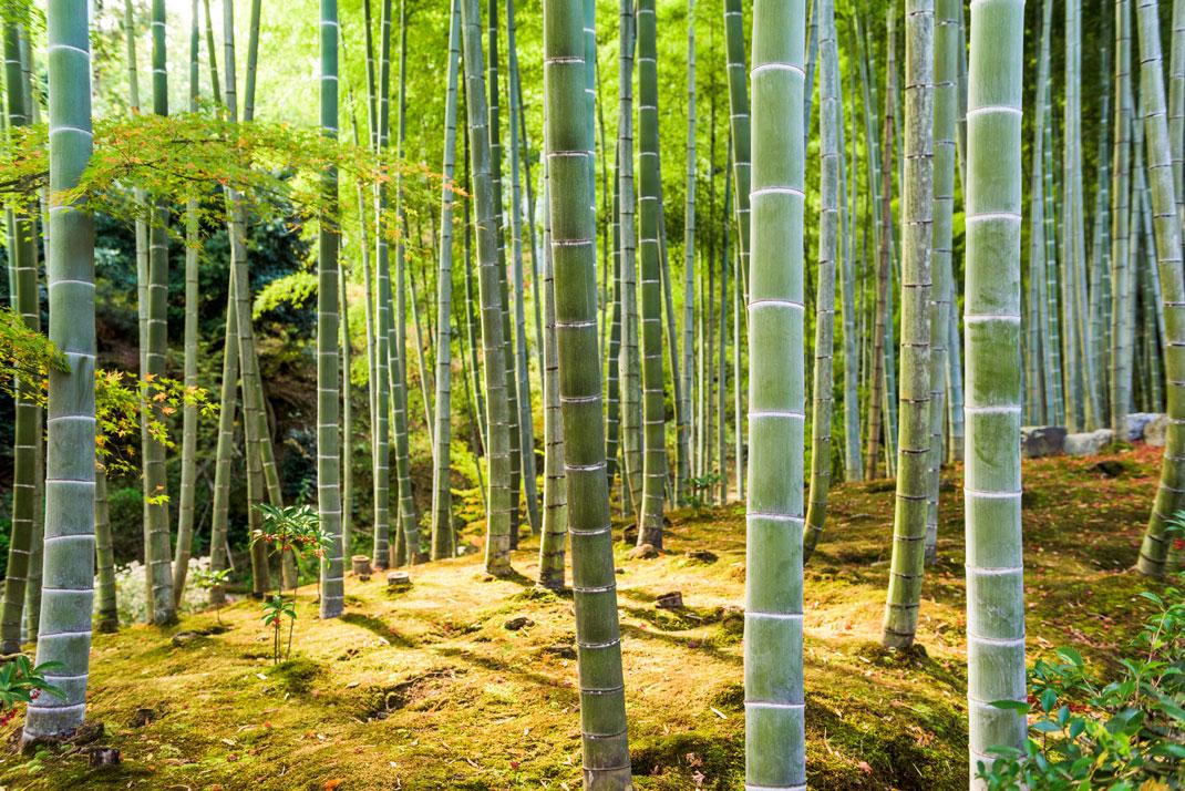 Arashiyama bamboo plantation in Japan via Shutterstock