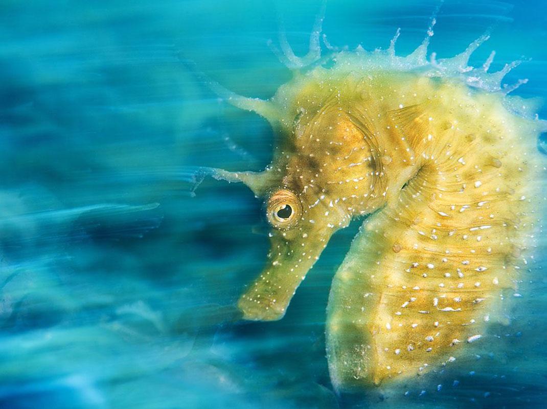 hippocampe-jaune-eau - copie