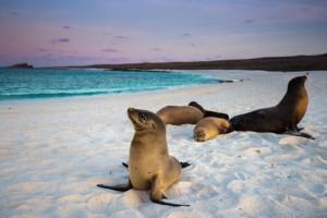 Des Lions de mer sur une plage des Galapagos via Shutterstock