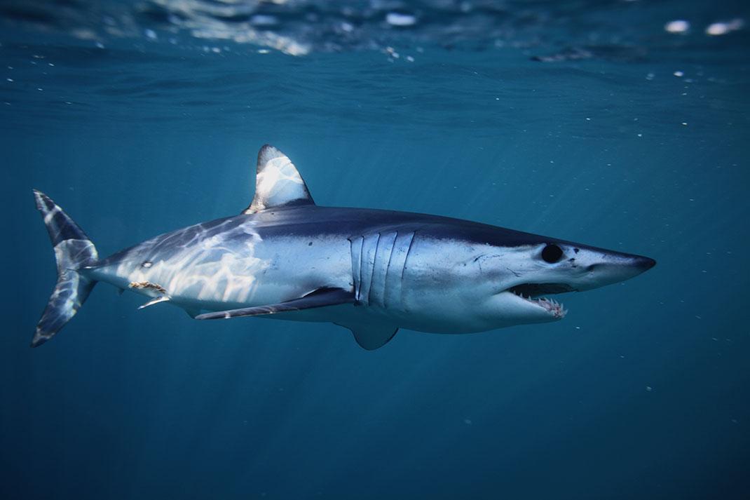Requin Mako via Shutterstock