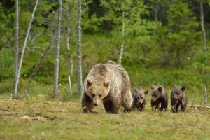 Une femelle ourse et ses petits via Shutterstock