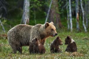 Une maman ourse avec ses petits via Shutterstock
