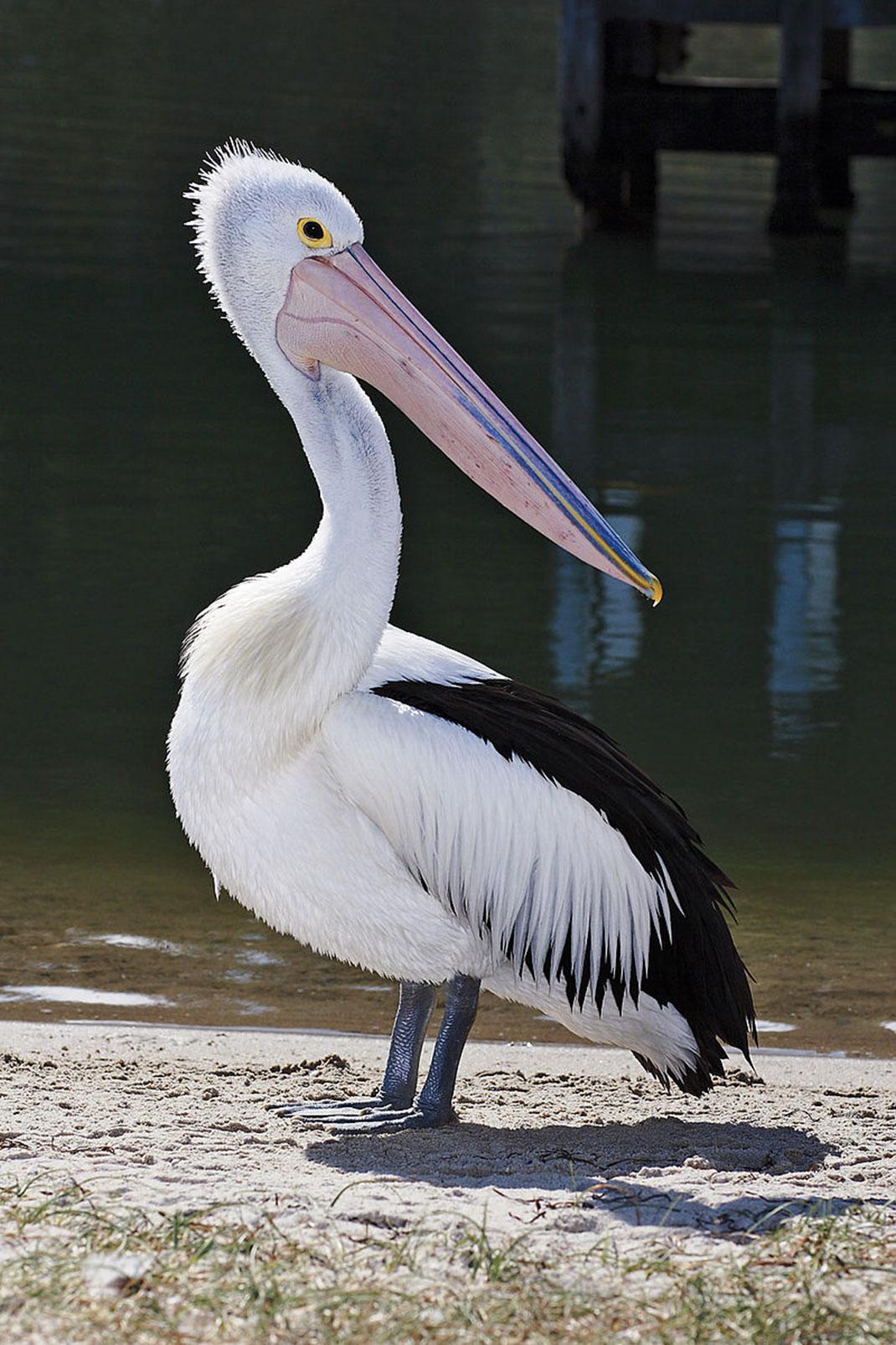 pelican-lunettes