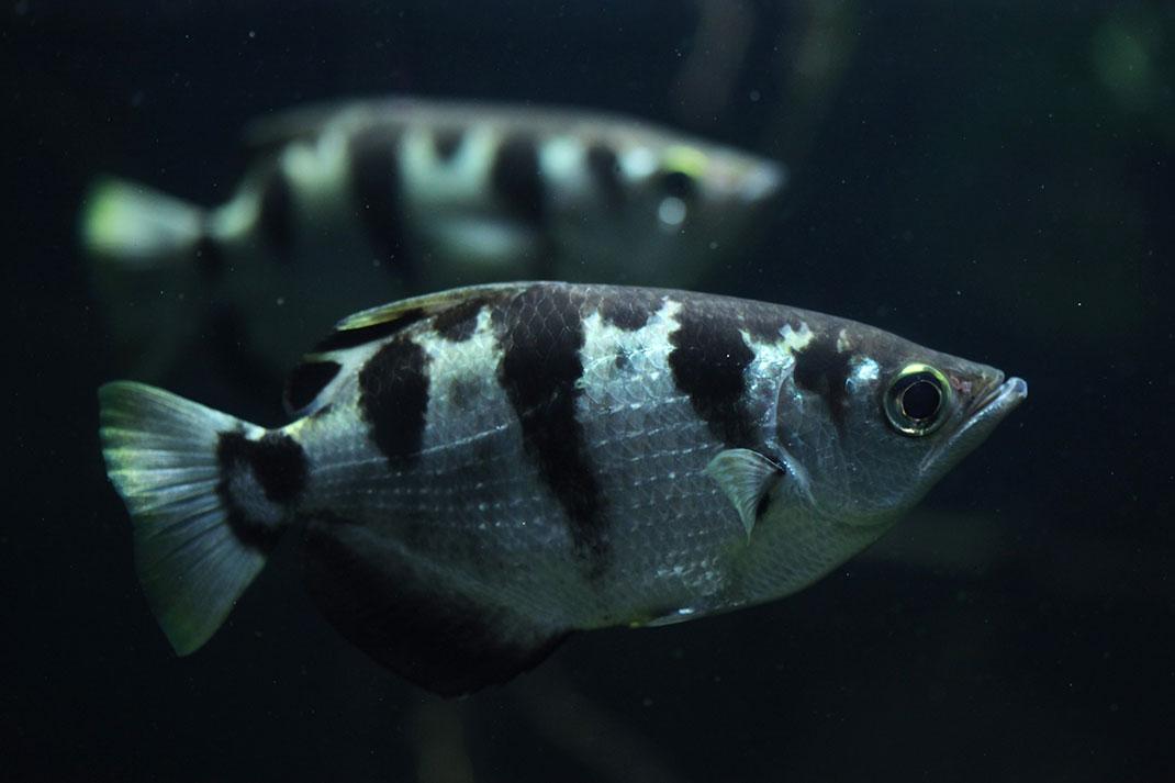 Un poisson archer via Shutterstock