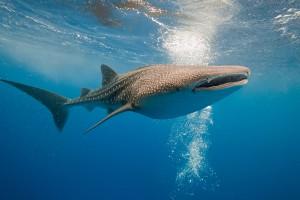 Requin baleine via Shutterstock