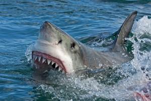 Un requin blanc via Shutterstock