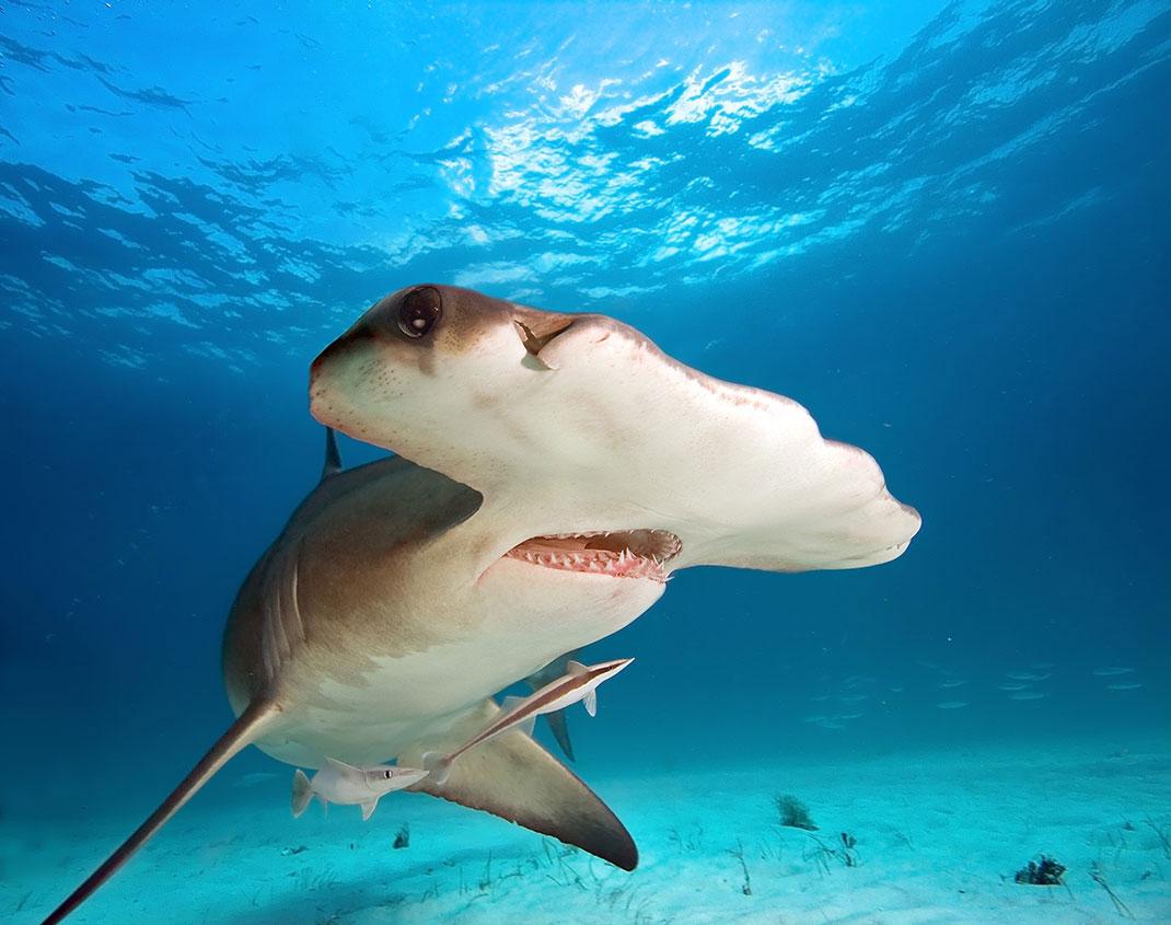Un requin marteau via Shutterstock
