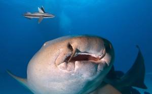 Un requin nourrice via Shutterstock