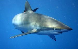 requin-soyeux
