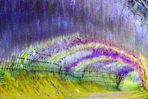 Le tunnel de Wisteria via Shutterstock