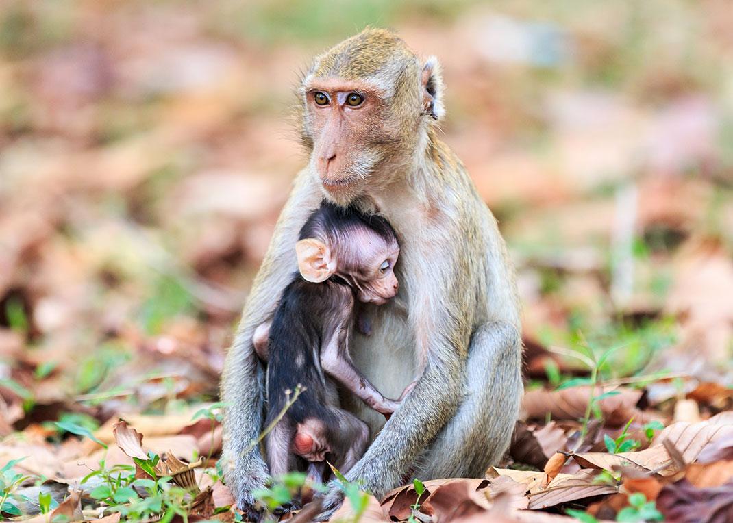 Un bébé singe tète sa mère via Shutterstock