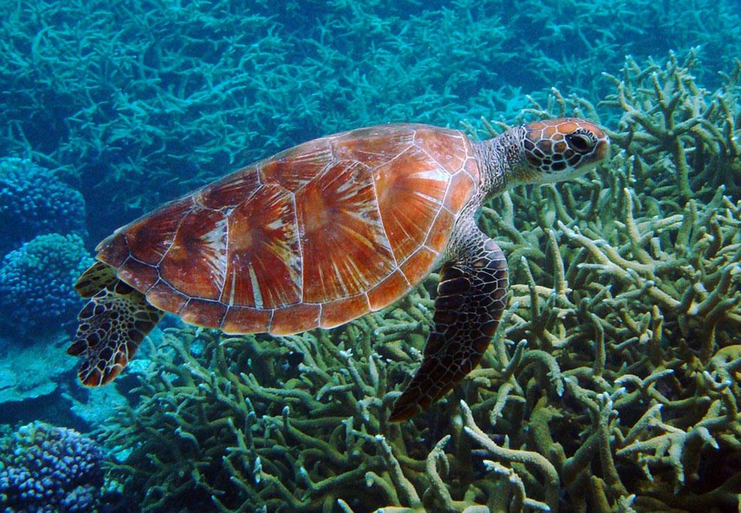 L'île de Bramble Cay est le plus grand terrain de reproduction pour les tortues vertes