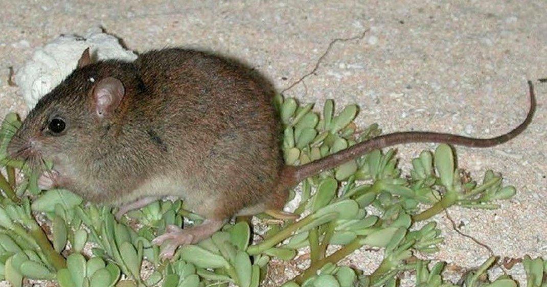 une-rongeur-australie