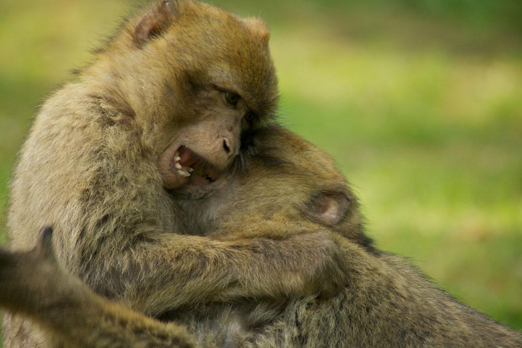 Deux Macaques de Barbarie