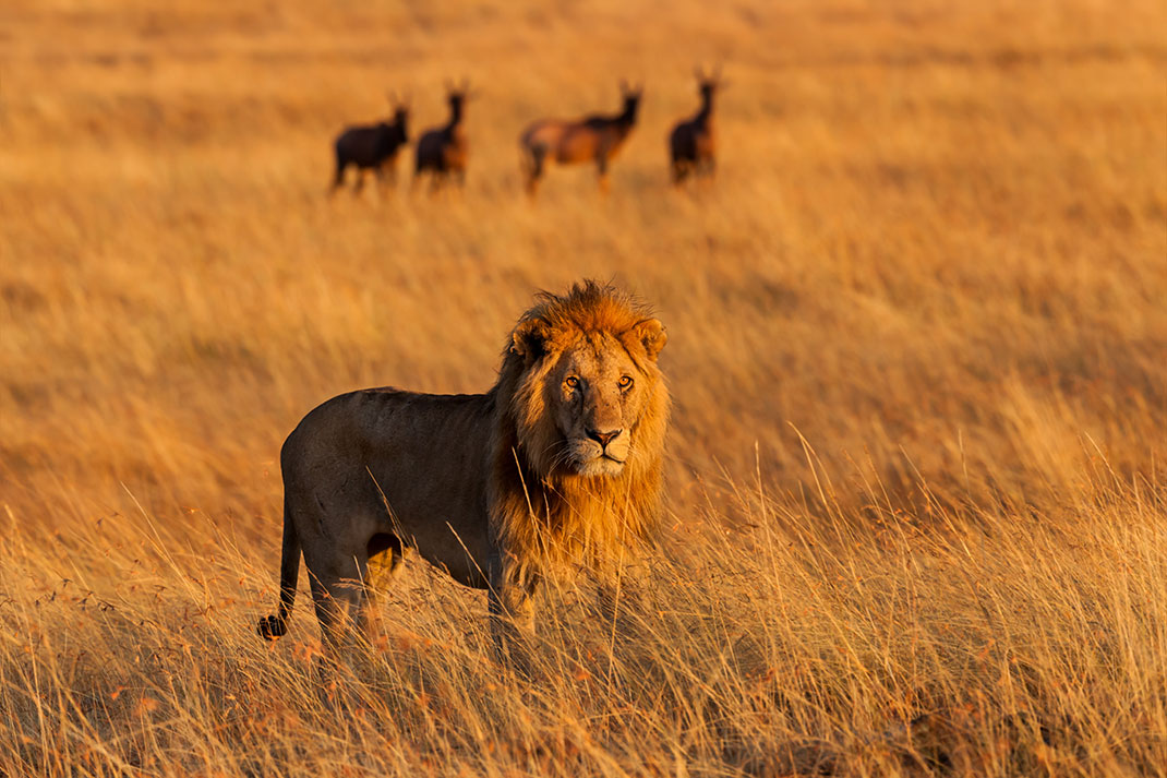Un lion d'Afrique via Shutterstock