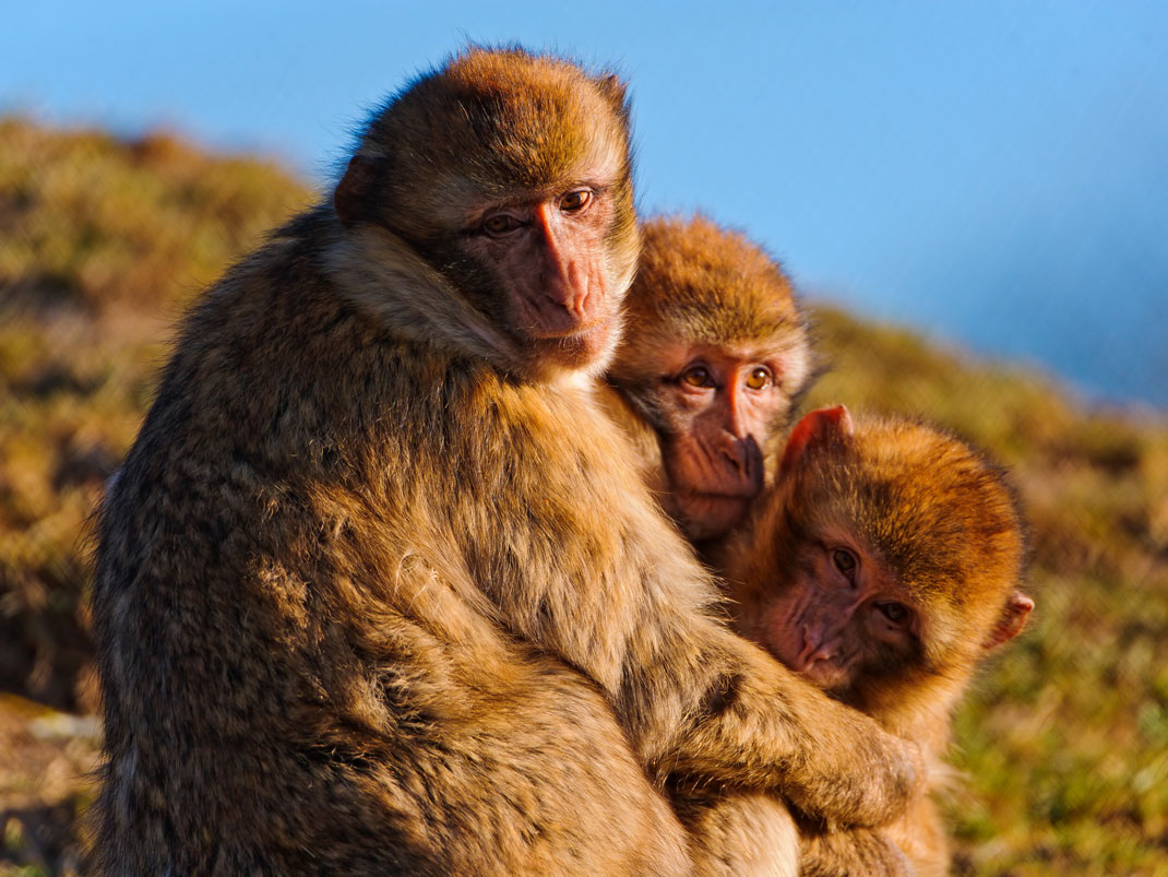 Trois macaques de Barbarie