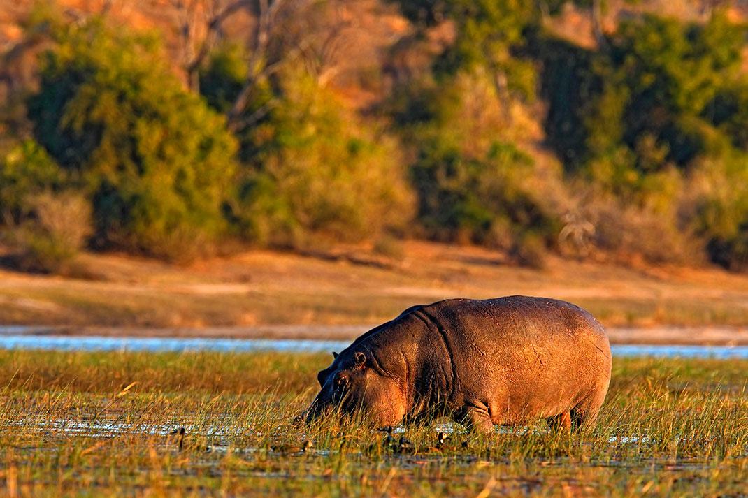 Un hippopotame via Shutterstock