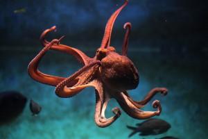 Une pieuvre via Shutterstock