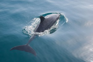 Un dauphin via Shutterstock