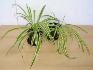 Chlorophytum-Comosum