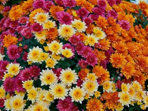 Chrysanthemum-Morifolium