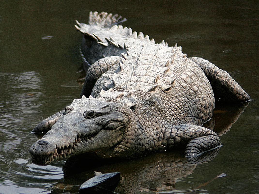 Crocodiles_américains