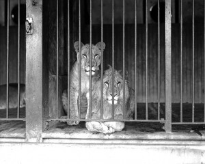 Lions_cage