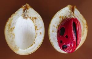 Une noix de muscade
