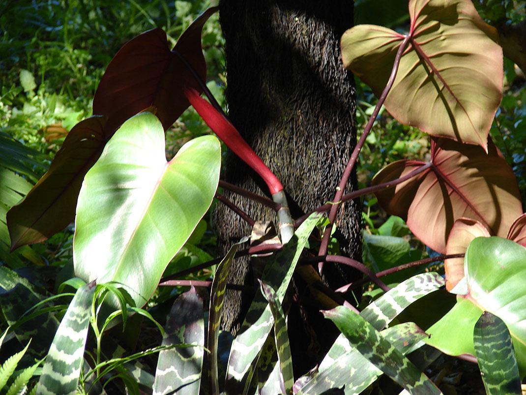 Philodendron-Erubescens