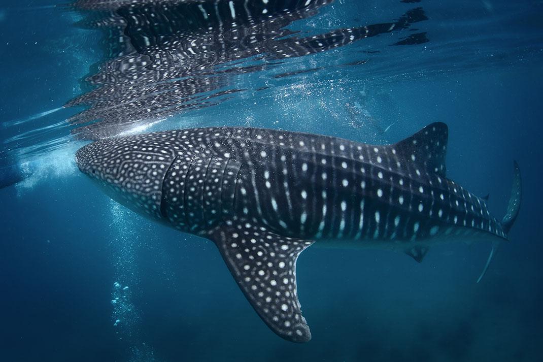 Un requin-baleine via Shutterstock