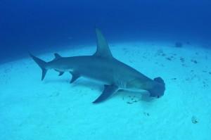 Un requin-marteau planeur
