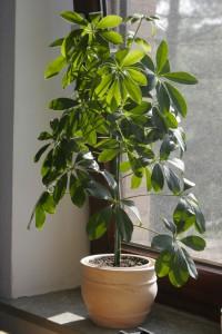 Schefflera-Brassaia-Actinophylla