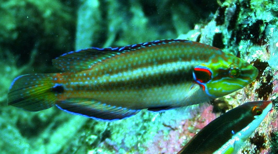 Symphodus-ocellatus-4