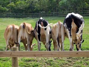 Un troupeau de vaches via Shutterstock