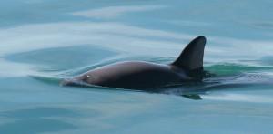 Un marsouin du Golfe de Californie