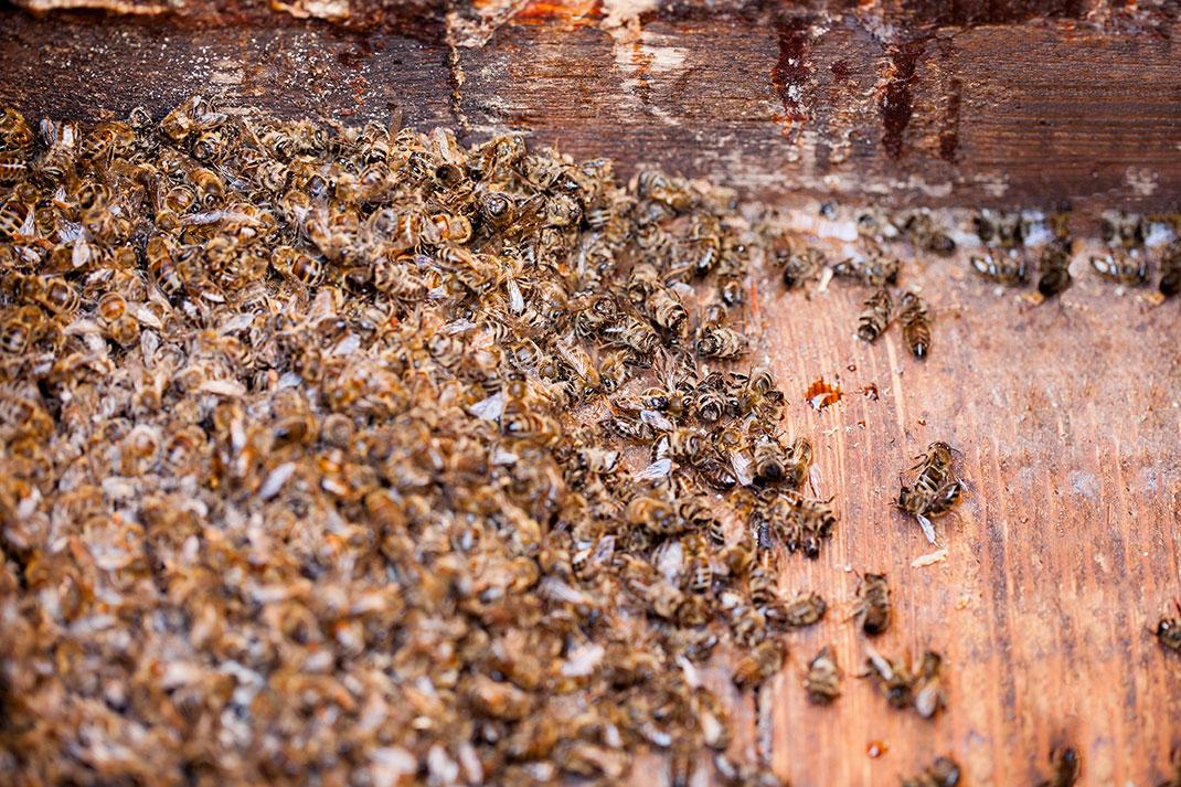 Des abeilles mortes à cause des pesticides via Shutterstock