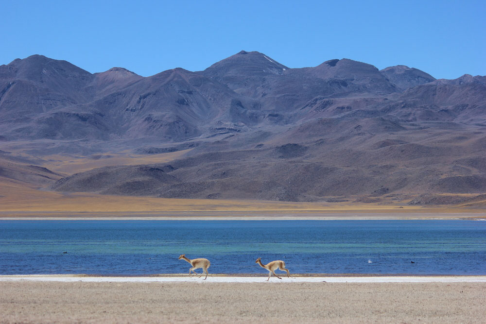 Des vigognes face au Altiplanic Lagoons via Shutterstock