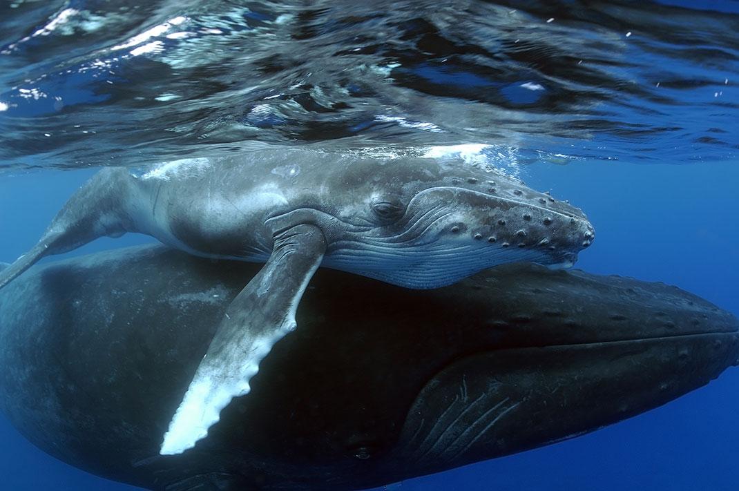 Un tendre moment entre une baleine et son petit via Shuttestock
