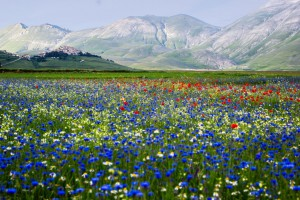 Un champs de fleurs bleues devant des montagnes en Italie via Shutterstock