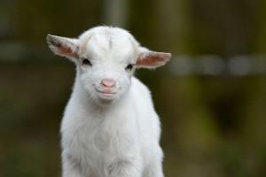 Une bébé chèvre via Shutterstock