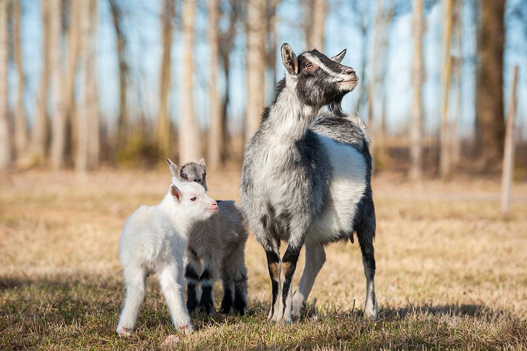 Une maman chèvre et ses petits via Shutterstock