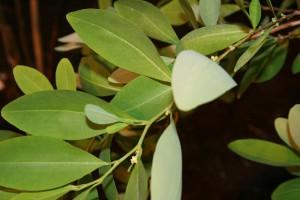 Des feuilles de coca via Wikimédia by Sten Porse