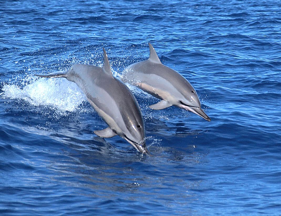 Un couple de dauphins by Philippe Bourjon