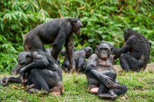 Un groupe de bonobos en train de se relaxer via Shutterstock