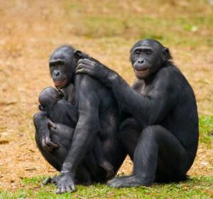 Deux bonobos et leur bébé via Shutterstock