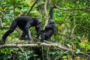 Deux bonobos s'affrontant via Shutterstock