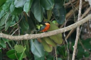 Une des espèces du Parc Madidi