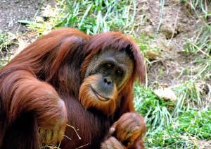 orang-outan-borneo-extinction-1